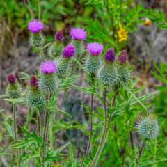 Close-up view of prickly pink flowers of wild plant Cirsium vulgare, the spear thistle, with blured floral background.
