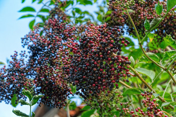Elderberry Sambucus nigra fresh fruits clusters on plant and green lush foliage of shrub.