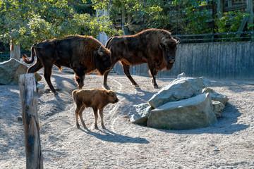 European bison (Bison bonasus), also known as wisent or the European wood bison, with calf at Skansen Open air-museum. Stockholm, Sweden.