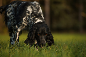 Great munsterlander dog in a autumn meadow