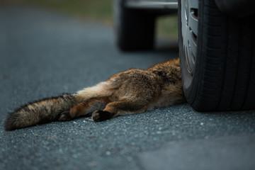 Dead fox on a street
