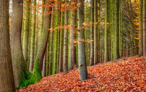 An European beech tree with fall colored foliage in a mixed forest in autumn, the ground is covered with fallen red leaves, Siebengebirge, Germany