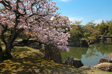 Cherry blossoms in a park in Japan