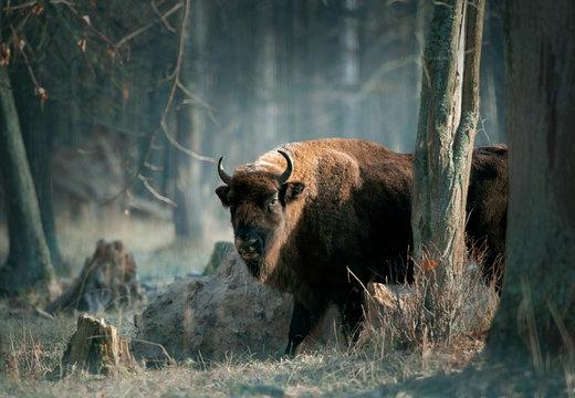European bison in november forest