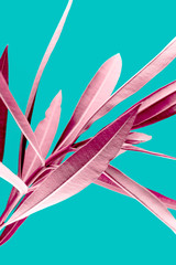 Pink tropical plant leaves close up isolated on turquoise background. High contrast creative nature photography.