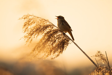Eurasian reed warbler Acrocephalus scirpaceus bird singing in reeds during sunrise.
