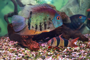 Red Shoulder Severum (Heros efasciatus) fish from Amazon