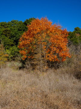 Tree with orange foliage in fall with dry grass, green trees and an autumn blue sky in Austin Texas