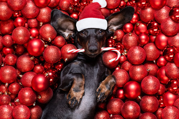 Foto auf Acrylglas Crazy dog christmas santa claus dog and xmas balls or baubles as background