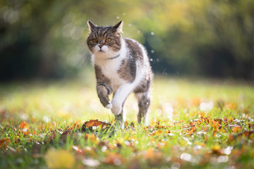 Foto op Aluminium Kat tabby white british shorthair cat running on grass with autumn leaves in the sunlight outdoors in nature wearing anti flea and tick collar