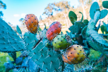 Wild cactus in adult stage with ripe fruits