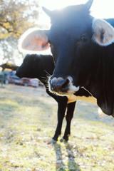 Wall Mural - Cute black calves on farm, close up portrait of young calf.