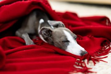 毛布に包まったイタリアングレイハウンド犬