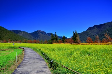 Photo sur Plexiglas Bleu fonce Rape (Brassica napus) flower field at Wuling Farm, Taiwan