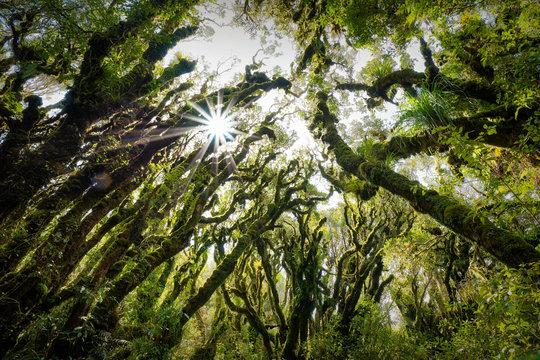 Sun peaking through trees in Goblin's Forest, Mt. Taranaki, New Zealand