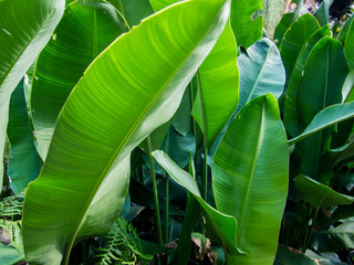 Heliconia stricta leaf, close up view.