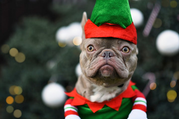 Portrait of funny lilac French Bulldog dog dressed up as christmas elf wearing costume with greena nd red hat and shirt