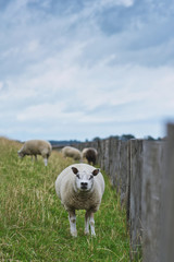 Texel sheeps looking straight at camera, a heavily muscled breed of domestic sheep from the Texel island in the Netherlands living on dyke