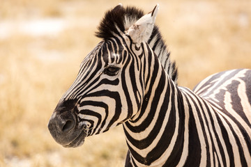 In de dag Zebra Close up of a zebra, Etosha, Namibia, Africa