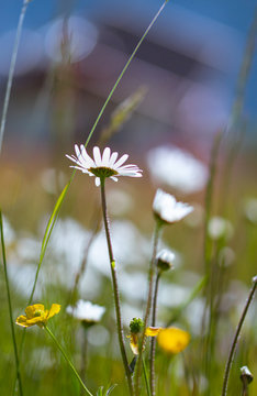 Artistic portrait of daisy (leucanthemum) and ranunculus acris blossoms in alpine meadow with blurred bokeh background; pesticide free environmental protection biodiversity concept;