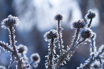 Group of of burdock Arctium covered with snow  on a gray background in winter.