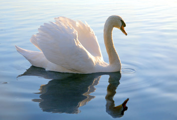 Papiers peints Cygne graceful swan