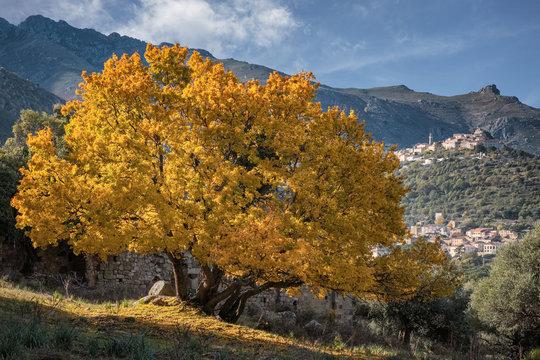 Golden autumn foliage of Montpellier Maple in Corsica