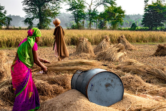 Hard Working Indian Woman Farmer wearing Saree, and working in her fields in the harvest season and is winnowing wheat grains from the Chaff in Traditional way. Women Empowerment and Gender Eqality.