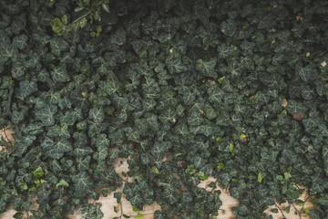 Vintage green ivy leaves in pastel tones