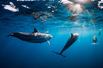 Fotobehang Dolfijn Pod of Spinner dolphins underwater in blue sea with sun light