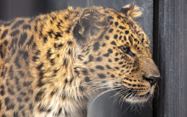 Portrait of a leopard in a zoo
