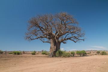 Baobab tree at chobe riverfront, Botswana, Africa