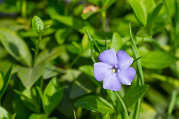 Wall Mural - Lonely periwinkle flower