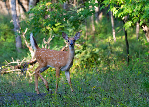White-tailed deer fawn walking through the meadow in Ottawa, Canada