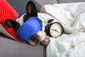 French bulldog sleeping in the bed with sleeping mask and alarm clock