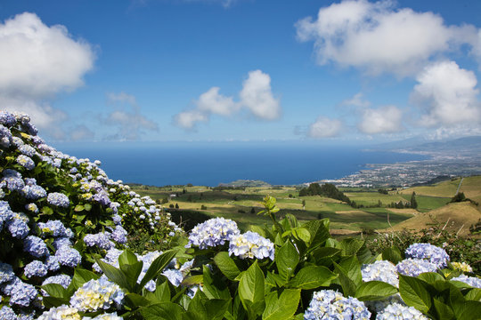 Beautiful landscape image of hydrangea, azores island, sao miguel