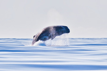 Jumping Sperm Whale