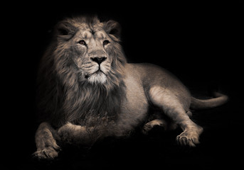lunar beast (ashen).Gorgeous lion aristocrat in the night. powerful male lion with a chic mane impressively lies. Wall mural