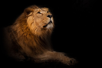 Curiosity in the night. He sniffs his head in profile. powerful male lion with a chic mane impressively lies. Wall mural