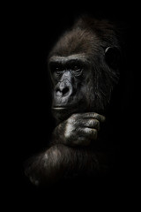 hand props his head. Monkey anthropoid gorilla female. a symbol of brooding rationality and heavy thoughts. isolated black background.