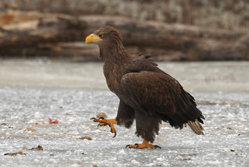 Beautiful large eagle on the ice with fish caught