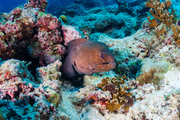 Wall Mural - Giant Moray Eel in a hole on a dark, tropical coral reef in the Similan Islands