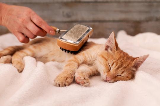 Young ginger kitten enjoy fur brushing