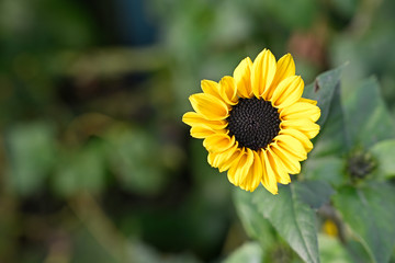 Soft yellow sunflower in garden