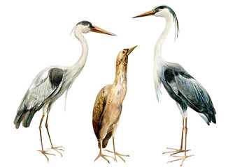 set birds bittern, heronon isolated white background, watercolor illustration