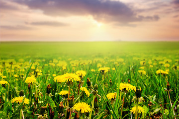 Green field with yellow dandelions and picturesque sky at sunset_