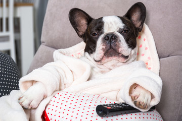 Poster Bouledogue français French bulldog in bathrobe watch tv with remote control in paw on the arm chair
