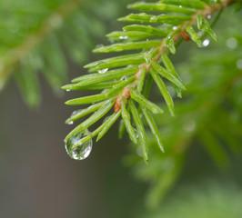 Raindrop on pine tree