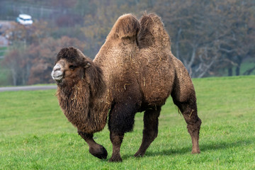 Portrait of a bactrian camel (camelus bactrianus) in a grassy field.