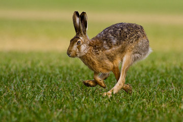 hare is running in the beautiful light on green grassland,european wildlife, wild animal in the nature habitat, , lepus europaeus. Fotomurales
